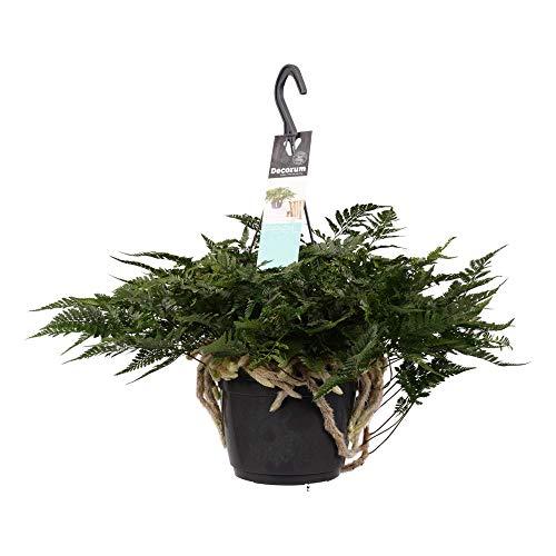 Farn von Botanicly – Spinnenfarn – Höhe: 35 cm – Humata tyermannii