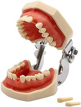 LBYLYH De Dental Dientes Tipodonto Modelo Estándar con 28 Dientes Y Las Encías para La Licitación De La Práctica Docente