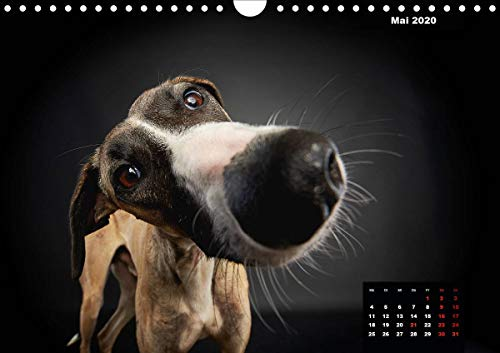 『Gier, M: Stimme der Windhunde (Wandkalender 2020 DIN A4 quer』の6枚目の画像