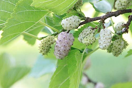 Green Future Pflanzenhandel -  Weiße Maulbeere