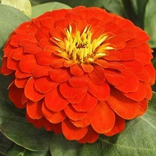 Zinnia Magellan Scarlet F1 Seeds - Flower Seeds Package - 250 Seeds