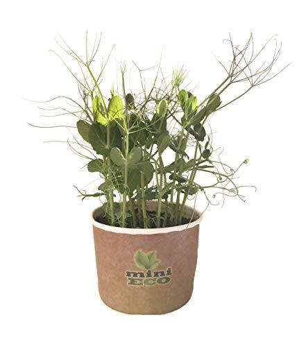 Viticcio di Verde di pisello Il Giovane pianta i microgreens dei tiri in Vaso della pianta. 15 gr di Semi Inclusi Micro Verdure Semi per Germogli Fai Crescere Le tue Erbe Sementi Germinali Piantina