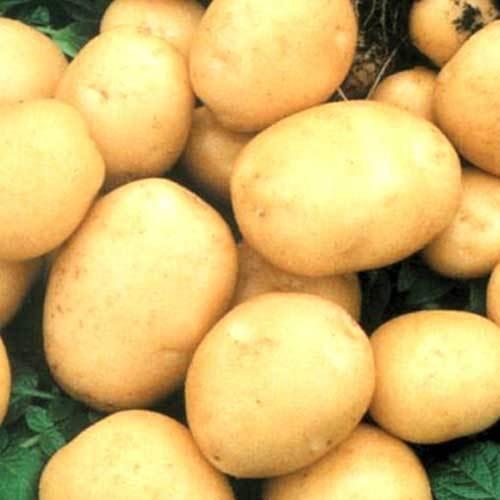 Portal Cool Seltene ukrainischen Bio-Gemüse Echte Kartoffelsamen Asol, Früh Solanum tuberosum