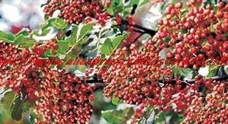 Best chinese pepper bonsai Reviews