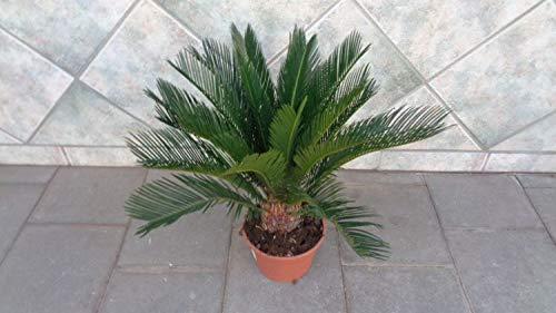 Cycas reveluta T18 Höhe 50-70 cm Sagopalme pflegeleicht