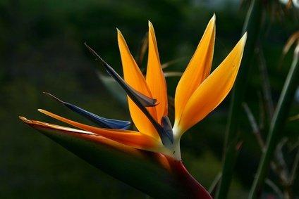 Strelitzia Nicolai Paradiesvogelblume 5 Samen