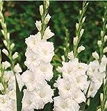 Potseed Heißer Verkaufs-100pcs / Bag Regenbogen-Lavendel sät Außentopf Stauden Zierpflanze für Gartendeko leicht anzubauen