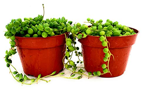 Fat Plants San Diego Succulent Plant(s) Trailing Succulent Collection Fully Rooted in 4 inch Planter Pots with Soil (2, Pearls)