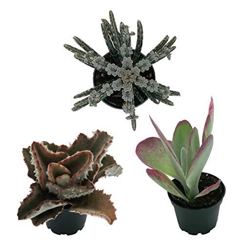 Pasiora Kalanchoe Mix im 6cm Top, verschiedene kleine Pflanzen, Geschenkset, 3 Stück