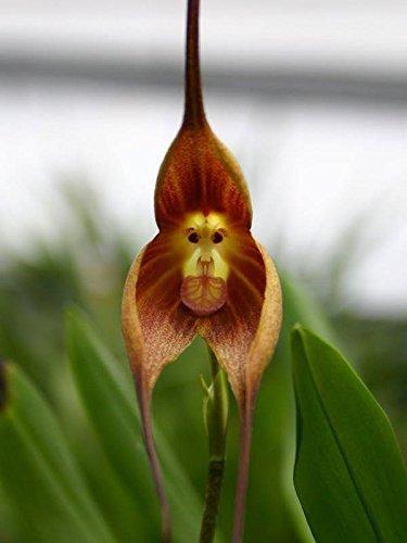 * Ambizu * HOT Vente Pérou Potted Monkey Face Orchid graines, plantes Bonsai principale Phalaenopsis Graines de fleurs -100 Pcs (Monkey 5)