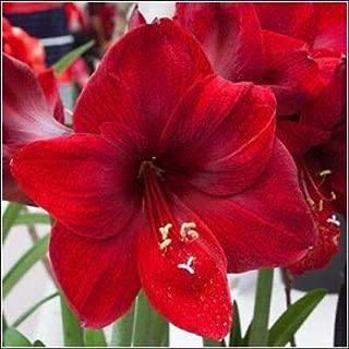 1 Bulb of Amaryllis Dutch Carmen Hippeastrum, Size 36 Beauty Plant