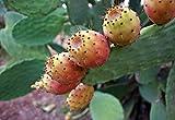 20 Stück Kaktusfeige Samen, Kerne (exotische Kakteenkerne, Kaktusfeige, Feigenkaktus, Opuntia Ficus-Indica, frische gesunde Samen, Kaktusfrucht, Obst), kostenloser Versand aus Deutschland