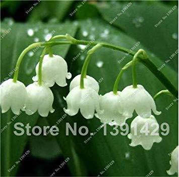 . 200pcs Muguet Fleur d'intérieur Rare Couleur de Bell Orchid Balcon Plantes en Pot Bricolage Home Jardin Décoration de Noël: 7