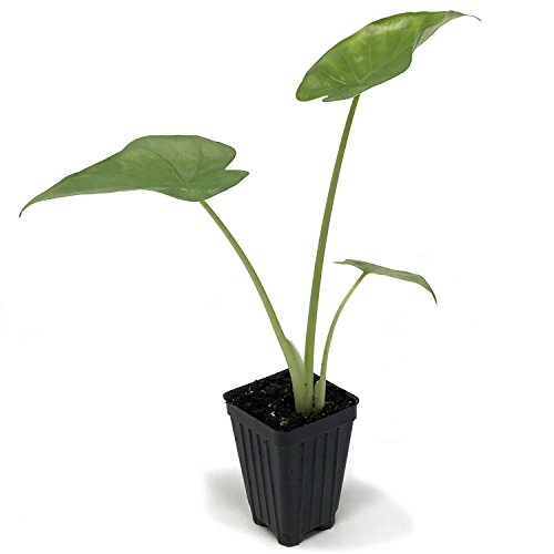 Calidora Elephant Ear (Persian Palm) Live Plant - Alocasia