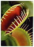 TROPICA - Vénus Attrape-mouche (Dionaea muscipula) - 10 graines- Carnivore