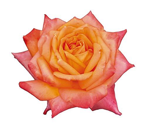 Esotica®, rosa viva rifiorente di Rose Barni®, rosa in vaso di effetto prestigio, pianta alta con bocci turbinati, ideale per giardino e coltivazione in vaso, rifiorente fino in autunno cod.71110