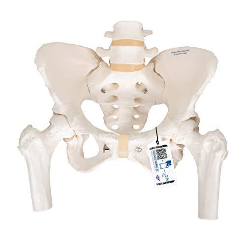 3B Scientific A62 Modelo de anatomía humana Esqueleto de la Pelvis, femenino, con cabezas de fémur móviles ⭐