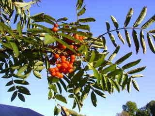 20 ASH TREE Montagnes/Amour / Rowan - Sorbus aucuparia SeedsComb S/H par Seedville
