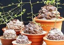 Dioscorea elephantipes raras Testudinaria pata de elefante ñame caudiciformes 10 semillas