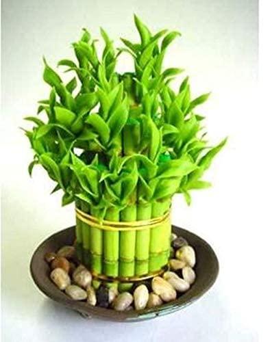 20 Pezzi Di Bambù Fortunato Scegliere In Vaso Varietà Completa Dracaena Il Tasso di Erba di Alta Semi