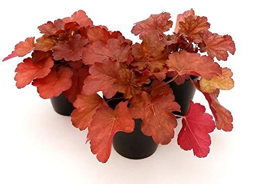 HEUCHERA ROSSA 3 PIANTE, piante vere