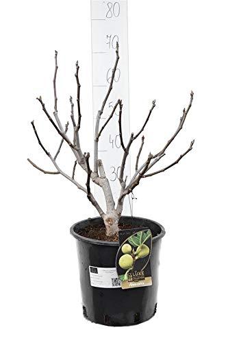 Ficus carica Brown Turkey - Feigenbaum - essbare Früchte - Gesamthöhe 70-90cm - Topf Ø 26cm