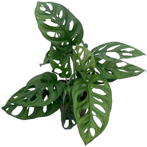 Monstera Adansonii Swiss Cheese Exotic Live House Plant 4' Pot by Heights...