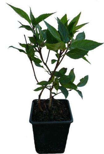 Rispenhortensie - VANILLE FRAISE - Pflanze Hortensie Neuheit