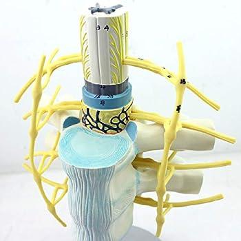 XIEJI Medical Anatomical Spine Model Spinal Cord and Spinal Nerve Enlargement Model