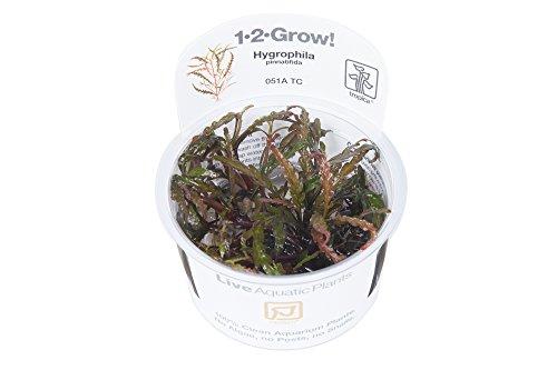 Tropica 1-2-GROW! Hygrophila pinnatifida - In-Vitro Aquariumpflanze …