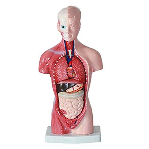Baoblaze Menschlicher Torso Körperorgan Anatomie Anatomisches Modell Wissenschaft Schule Lernen
