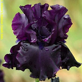 Raven Girl Bearded Iris Black Flowering Plant Root Start Rhizome Bulb Simply Beautiful Flowering Perennial