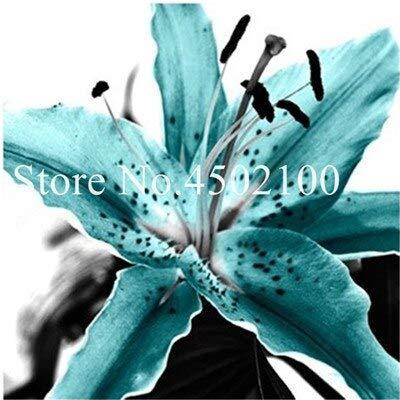 Kalash Neue 120 PC Taglilie Blumen SEED...