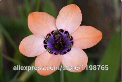 100pcs Rose Tricolor Graines Sparaxis Fleurs de jardin Home.Semillas de Flores.Blue Rose Orange Blanc Rose