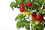RDR Seeds 50 Tiny Tim Tomato Seeds - Patio Tomato, Dwarf Heirloom,...