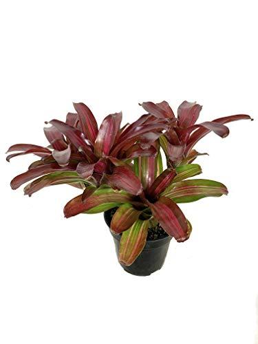 Neoregelia Bromeliad - Live Plant in a 4 Inch Pot - Bromeliad...