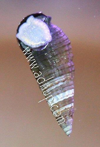 ADNUP Aquatics Cerith Snails (100)