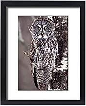 Media Storehouse Framed 20x16 Print of Great Gray Owl, Pine City MN Perched on Aspen (5781436)