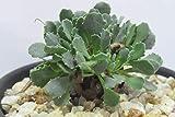 多肉植物 オトンナ カカリオイデス 2.5号鉢 ③