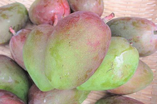 【予約受付開始】青切りマンゴー5kg【摘果マンゴー】マムアンディップ