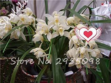 A bag = 200pcs Cymbidium Orchid, Multi Color Cymbidium Orchid Plant, Bonsai Flower Seeds,Natural Growth,Plant for Home Garden 19