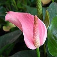 8:20 /バッグ珍しい花アンスリウムAndraeanu種子バルコニー鉢植え植物アンスリウム花種子用diyホームガーデン