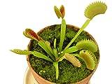 10 frische Venus-Fliegenfallen Samen/Saatgut -Dionaea muscipula-