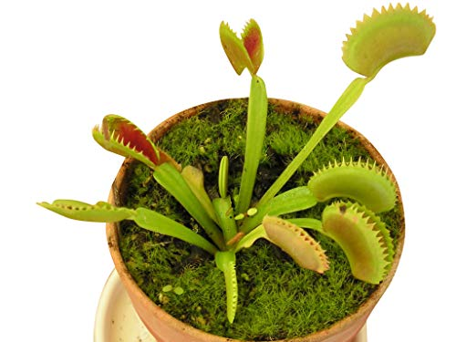 5 frische Venus-Fliegenfallen Samen/Saatgut -Dionaea muscipula-