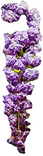 Homegrown Packet Wisteria Seeds, 55 Seeds, Black Double Dragon
