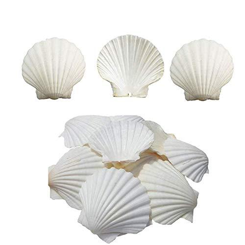 Scallop Shells White Natural Seashell 16 PCS for DIY Craft Mermaid Beach Wedding Home Decoration