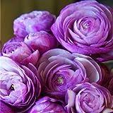 20 Pcs Graines Renoncule Fleur Double Rabat Ranunculus Asiaticus Jardin Vivace Intérieur Herbal Buttercup Graines (Mao Liang Hua): 13