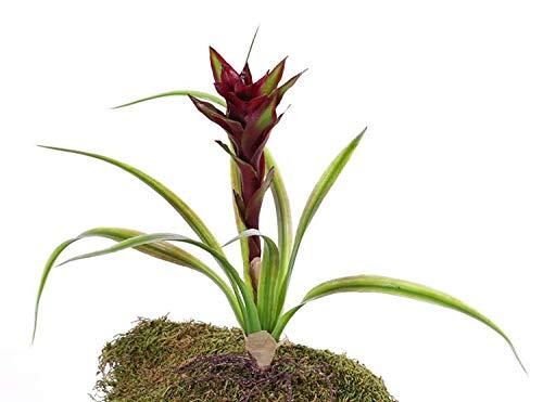 PARC Network - Plastik Guzmania, mit Deko Blüten, auf Steckstab, rot, 40cm - Guzmanie Kunstblume - Deko Pflanze - Künstliche Blume - Kunstpflanze