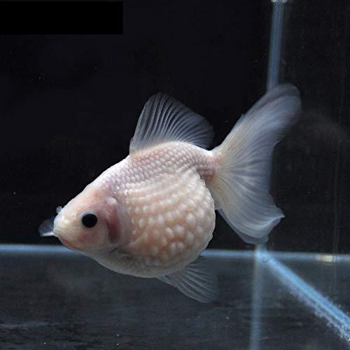 【金魚王子】ホワイトピンポンパール (10.5センチ前後) 個体番号:vbn982 金魚 きんぎょ 生体 パールスケール 厳選個体