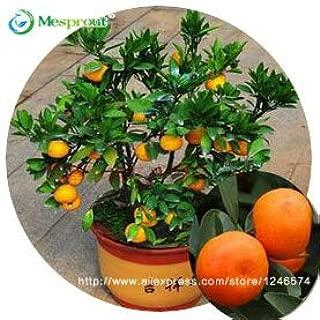 Top Selling! 30pcs Edible Fruit Mandarin Bonsai Tree Seeds, Citrus seed Bonsai Mandarin Orange Seeds of change